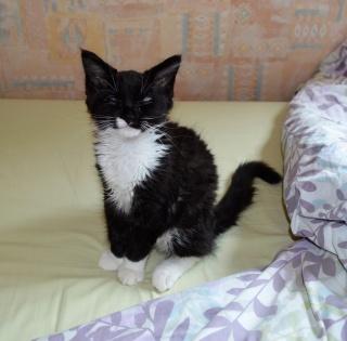 moumousse - MOUMOUSSE, chaton mâle noir et blanc à poils mi longs, né le 05.04.16 Dsc_0031
