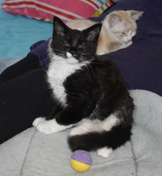 moumousse - MOUMOUSSE, chaton mâle noir et blanc à poils mi longs, né le 05.04.16 Dsc_0032