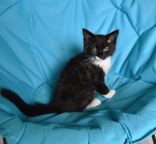 moumousse - MOUMOUSSE, chaton mâle noir et blanc à poils mi longs, né le 05.04.16 Dsc_0034