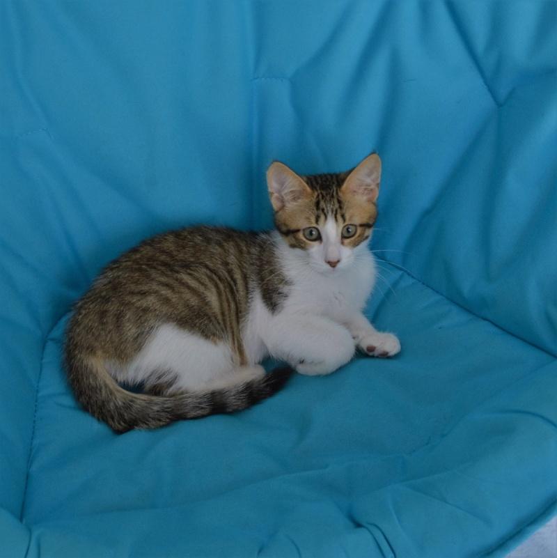 mushu - MUSHU, chaton tigré et blanc, né le 05.04.16 Dsc_0045