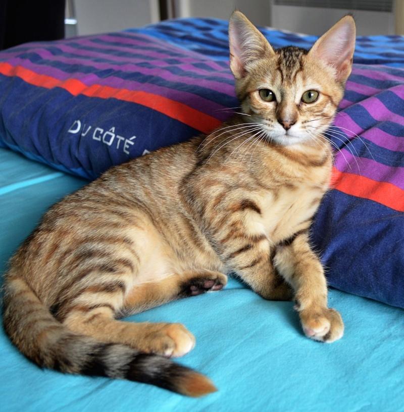 margotte - MARGOTTE, chatonne tigrée et rousse, née le 05.04.16 Dsc_0048