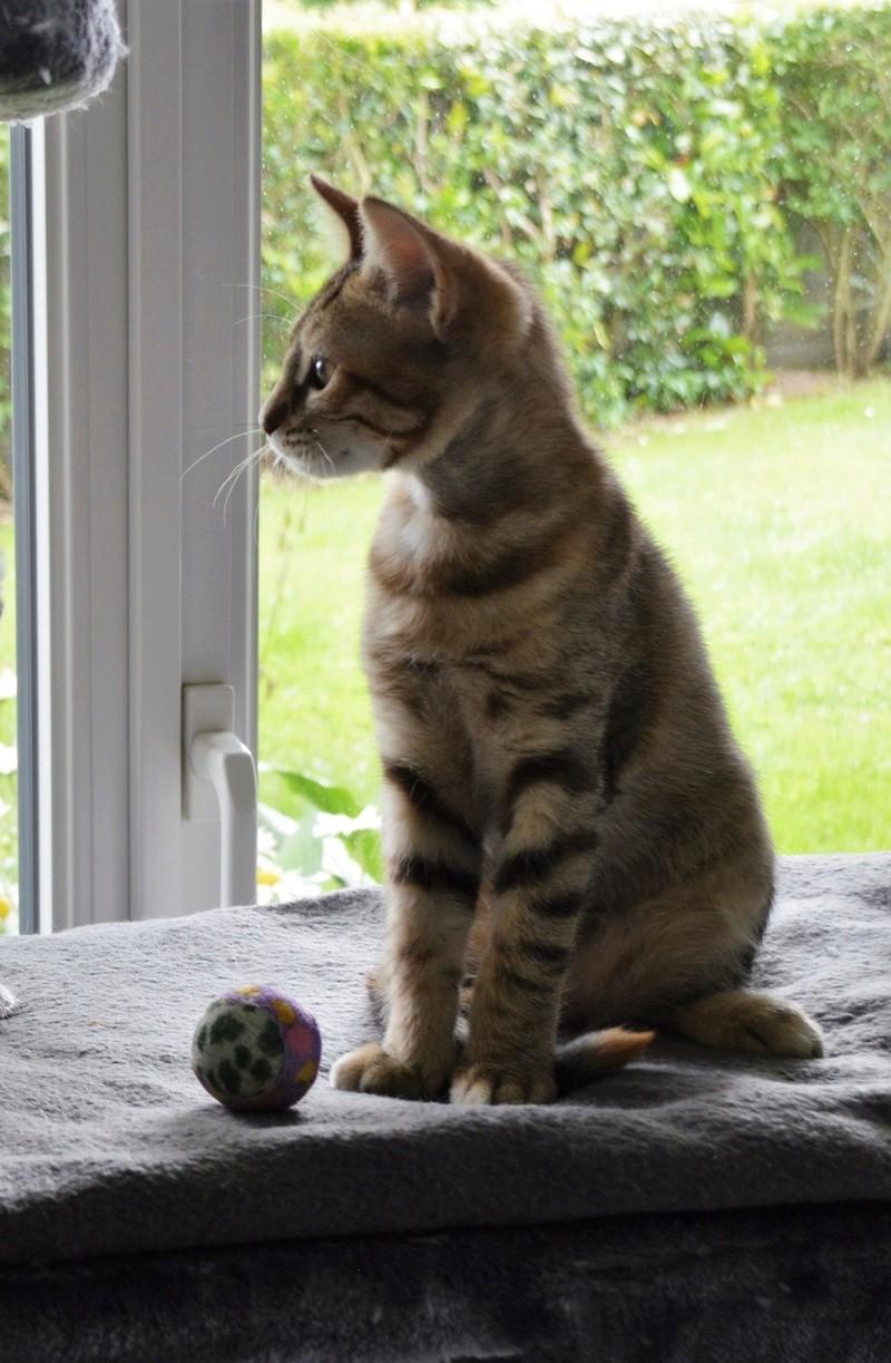 margotte - MARGOTTE, chatonne tigrée et rousse, née le 05.04.16 Dsc_0057
