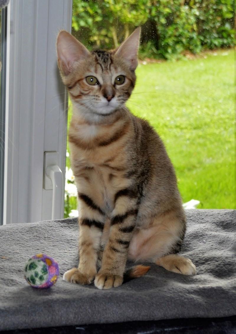 margotte - MARGOTTE, chatonne tigrée et rousse, née le 05.04.16 Dsc_0058