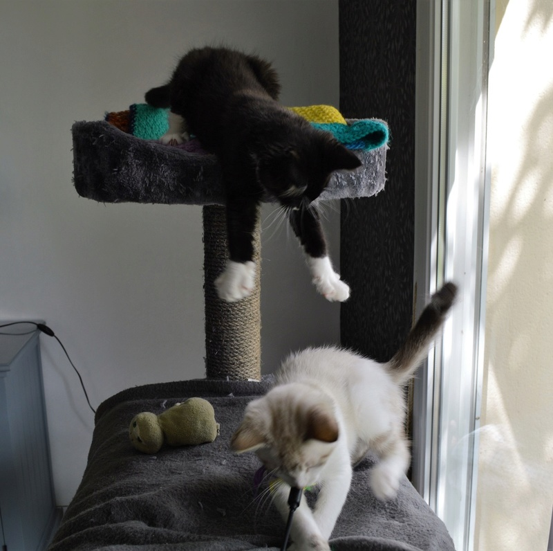 moumousse - MOUMOUSSE, chaton mâle noir et blanc à poils mi longs, né le 05.04.16 Dsc_0079