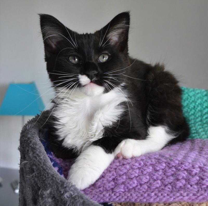 moumousse - MOUMOUSSE, chaton mâle noir et blanc à poils mi longs, né le 05.04.16 Dsc_0080