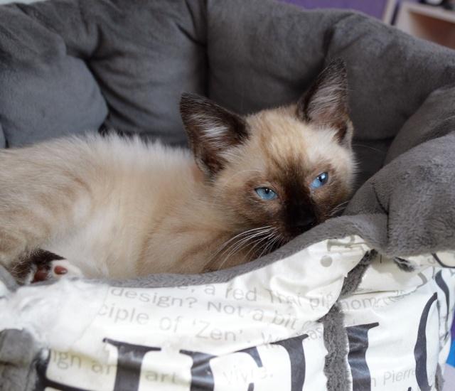 muesli - MUËSLI, chaton mâle croisé siamois, né le 05.04.16 Dsc_0112