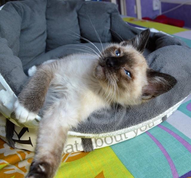 muesli - MUËSLI, chaton mâle croisé siamois, né le 05.04.16 Dsc_0113