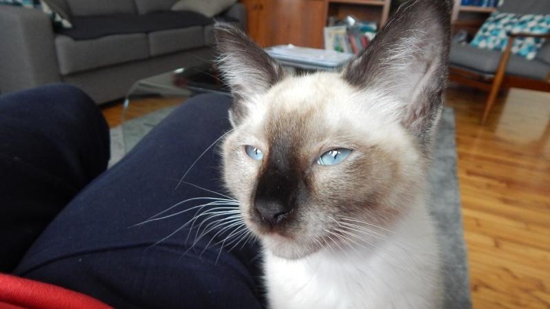 muesli - MUËSLI, chaton mâle croisé siamois, né le 05.04.16 Dscn0411