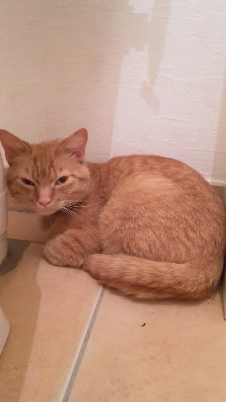 Trouvé chat roux Colomiers - Ramassiers 20160615