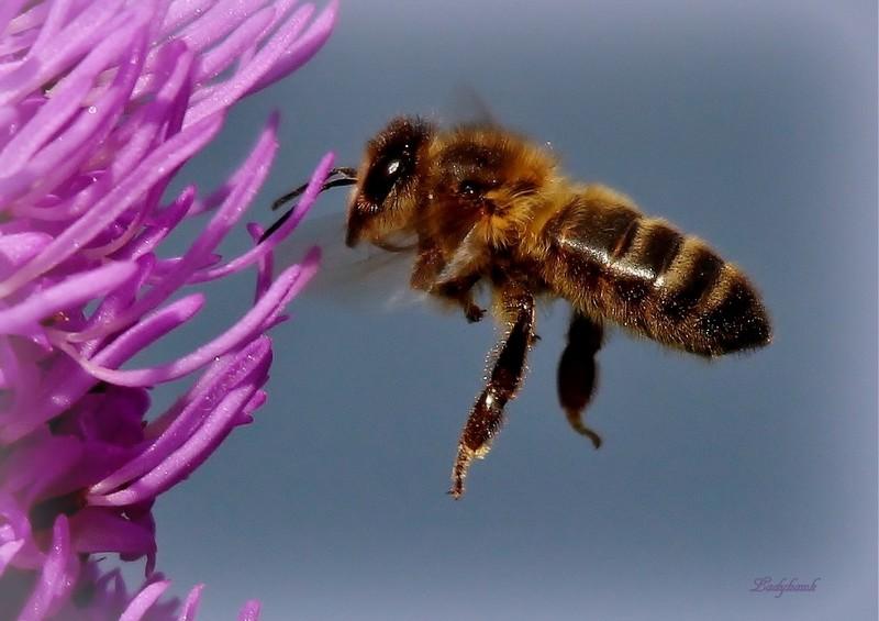 l'abeille Img_1710