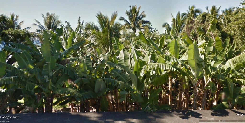 Végétation de la Réunion Banani11