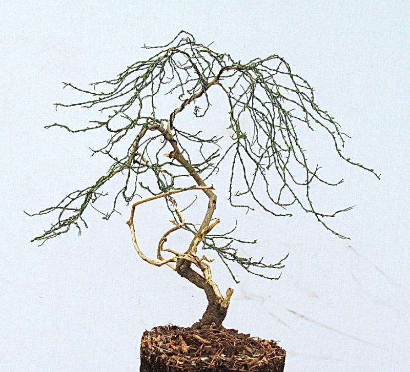 Genista lydia - Lydia Woadwaxen (Common Name: Broom) Img_0610