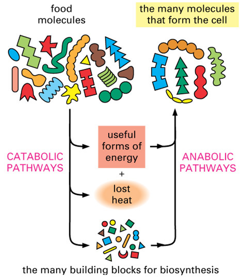 How Cellular Enzymatic and Metabolic networks  point to design Buildi10
