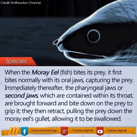 Moray eel second jaws Giphy10