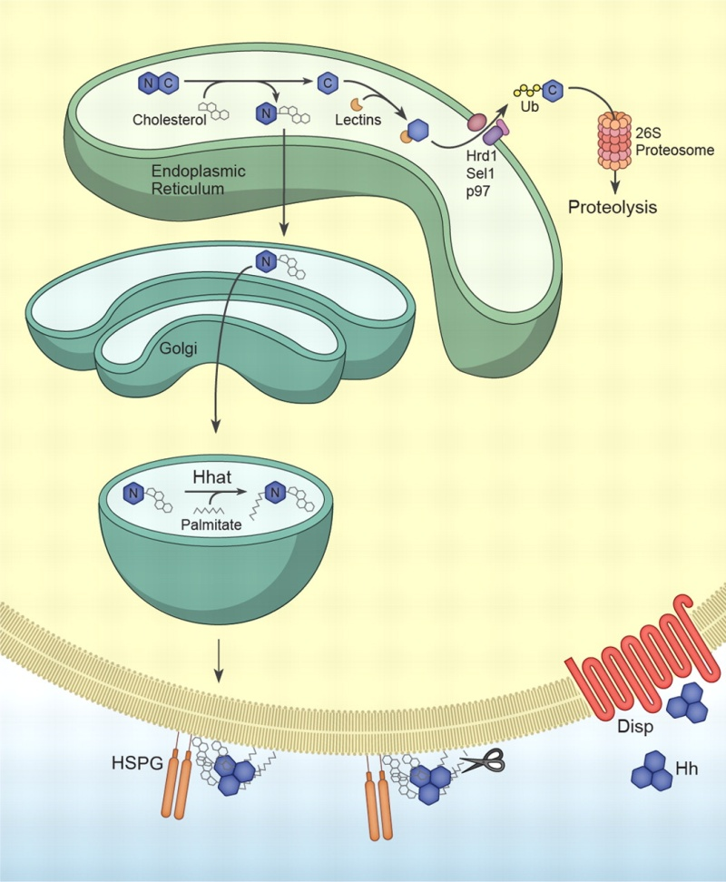 The hedgehog signal transduction pathway Hh_pro12