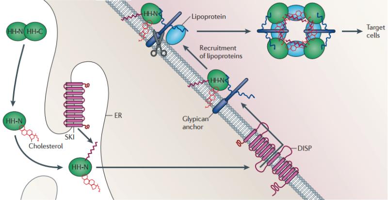 The hedgehog signal transduction pathway Lipid_10