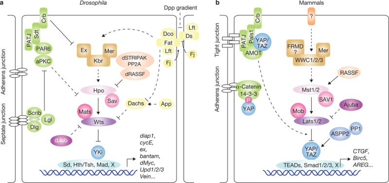 The Hippo signaling pathway in organ size control, tissue regeneration and stem cell self-renewal Nihms510
