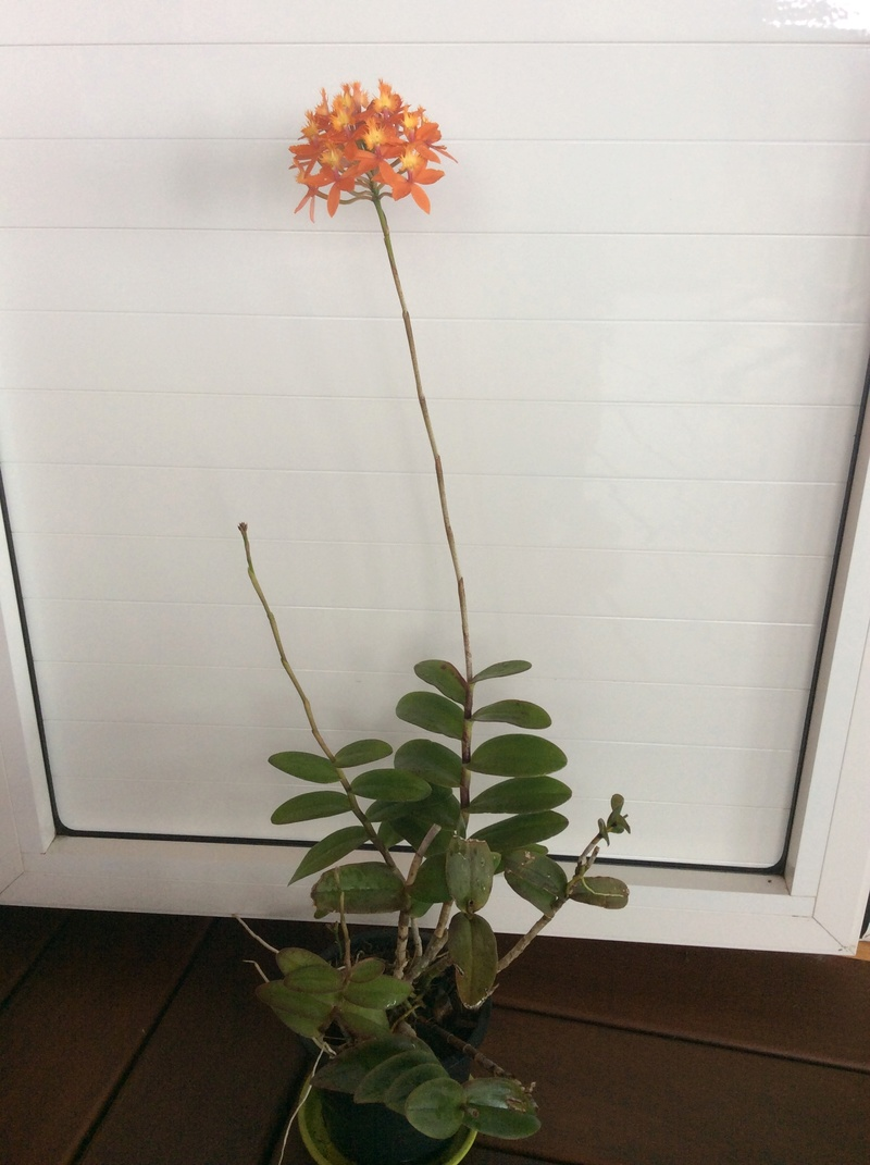 Epidendrum Img_1910