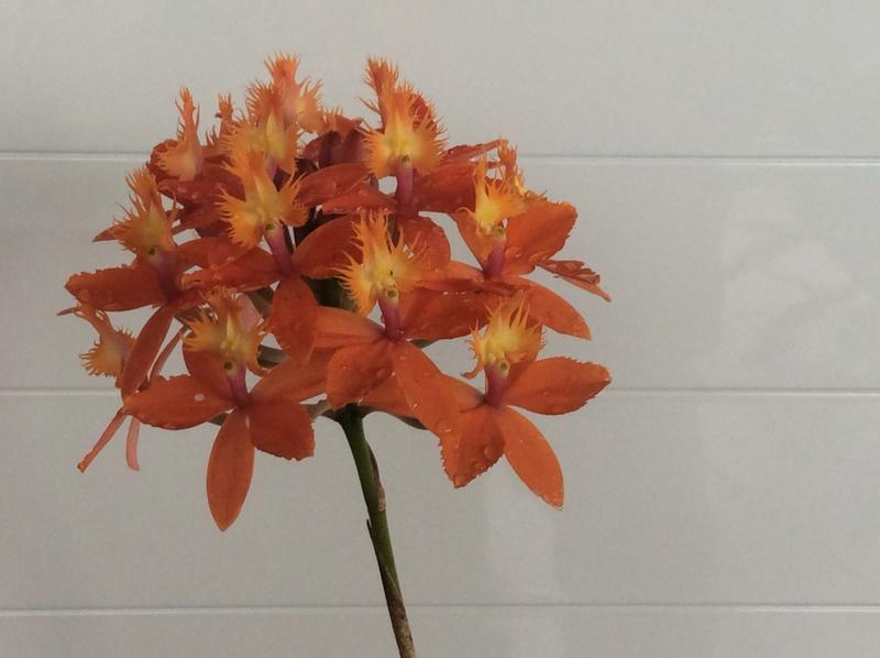 Epidendrum Img_1912