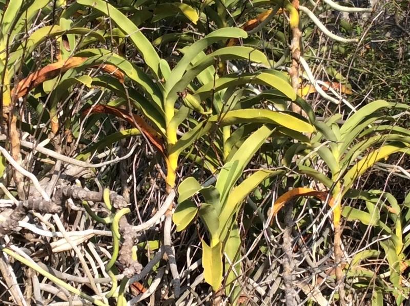 Un Vanda à Madagascar Vanda_10
