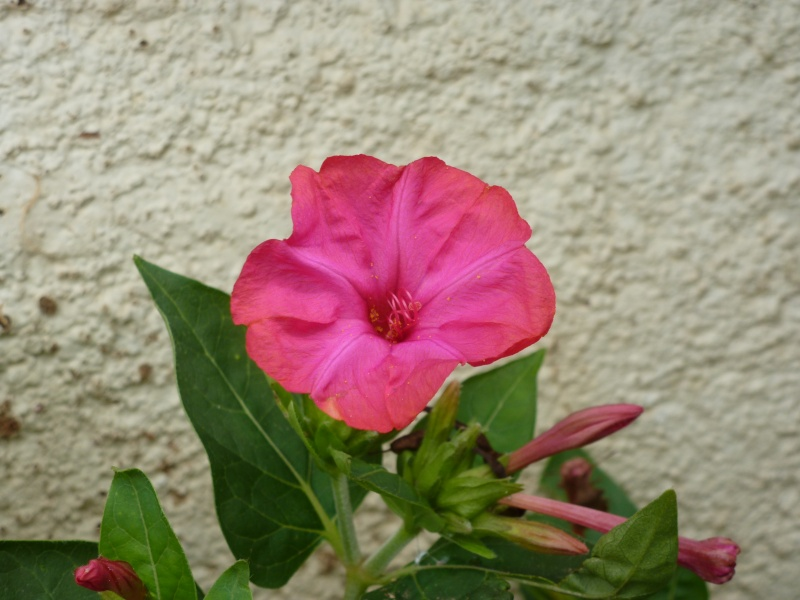Photo fleur en macro P1090510