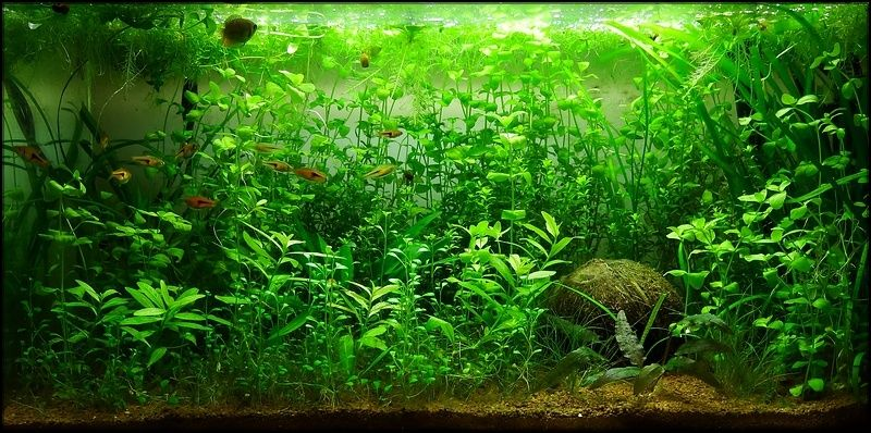 Mon 54L lowtech (Betta S) Aquari10