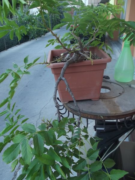 glicine da margotta Dscf2425