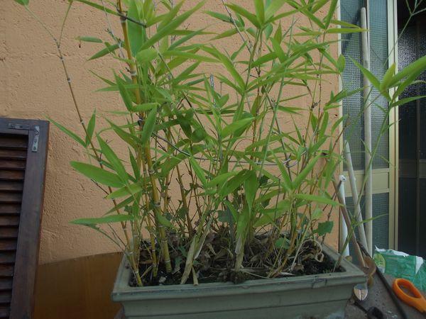 boschetto di bambù Dscf2427