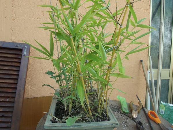 boschetto di bambù Dscf2428