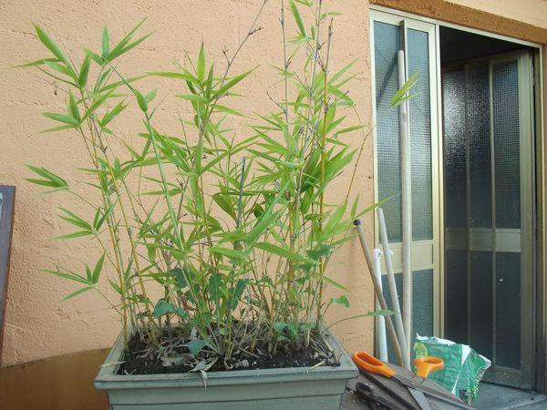 boschetto di bambù Dscf2429