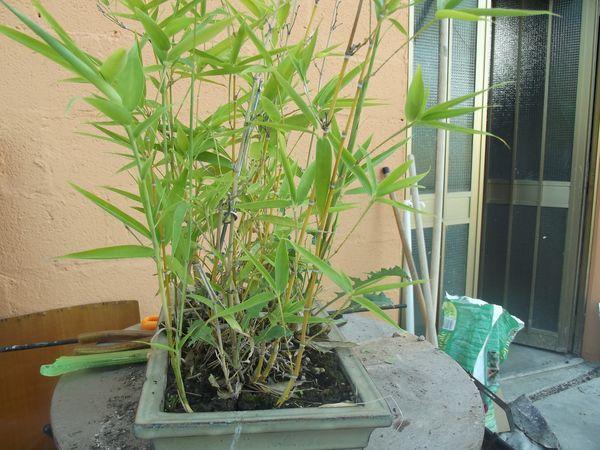 boschetto di bambù Dscf2430