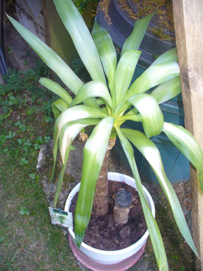 mon yucca a pris un coup de soleil 00111