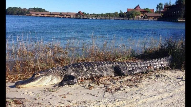 [Walt Disney World Resort] Un alligator tue un enfant au Grand Floridian Gator10