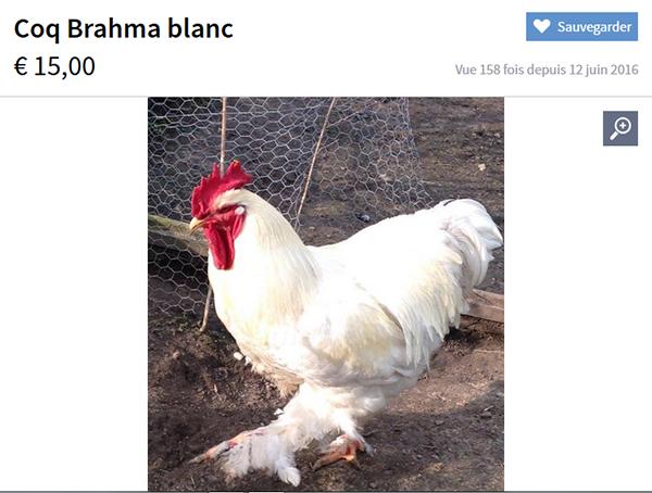 Les Pépites des petites annonces Brahma10