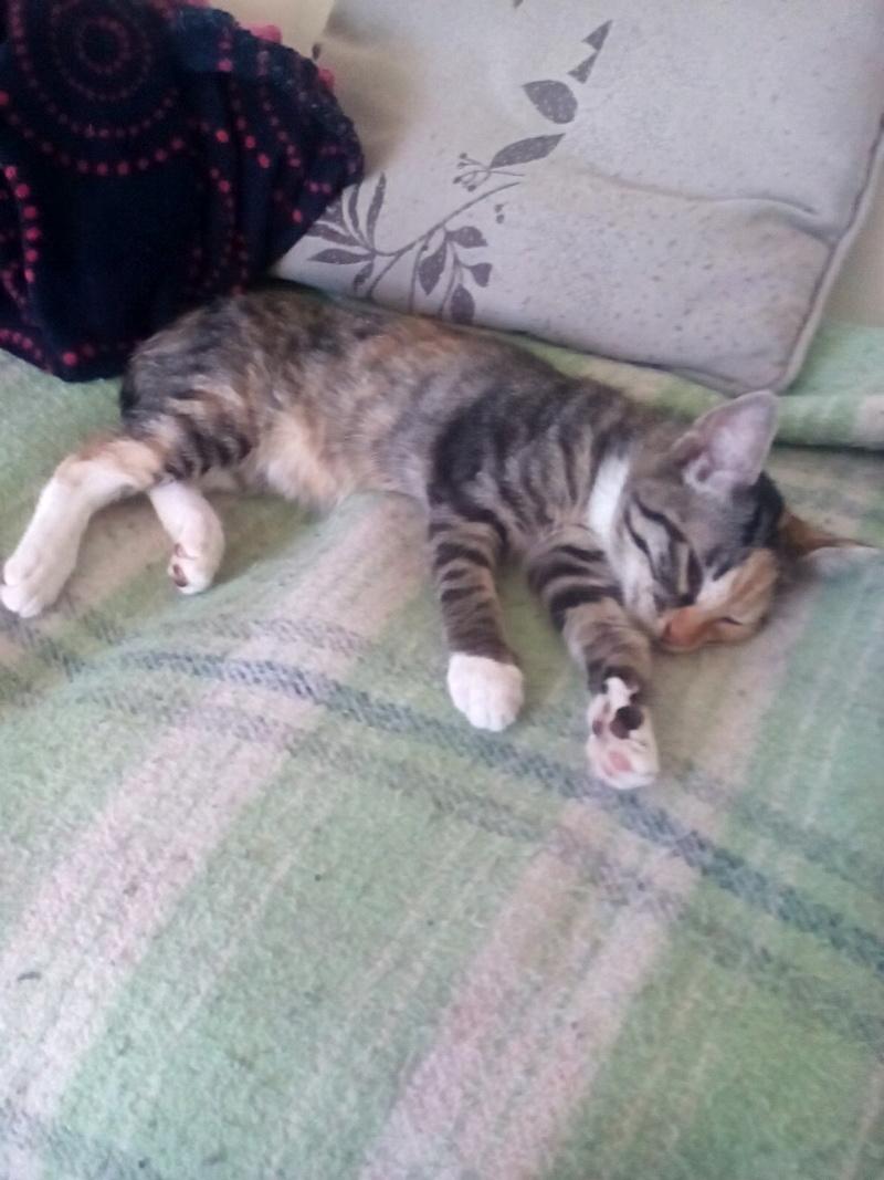 MOLLY, chatonne européenne tricolore, née le 15/04/16 14697910