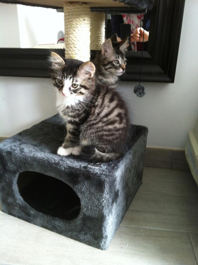 marley - MARLEY, chaton européen tigré&blanc, né le 15/04/16 Img_2910