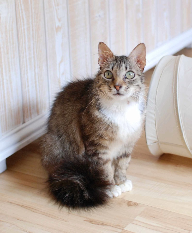 inette - INETTE, chatte européenne tigrée & blanche, poils mi-longs, née en 2013 Inette13