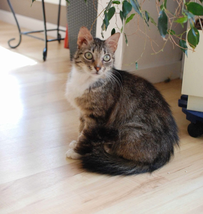 inette - INETTE, chatte européenne tigrée & blanche, poils mi-longs, née en 2013 Inette14