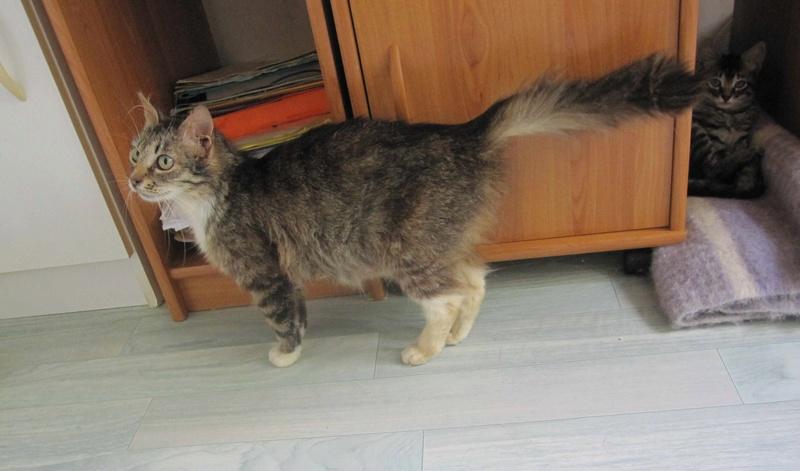 inette - INETTE, chatte européenne tigrée & blanche, poils mi-longs, née en 2013 Inette17