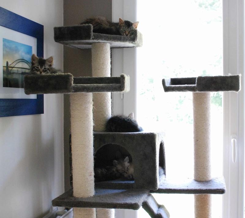 inette - INETTE, chatte européenne tigrée & blanche, poils mi-longs, née en 2013 Inette18