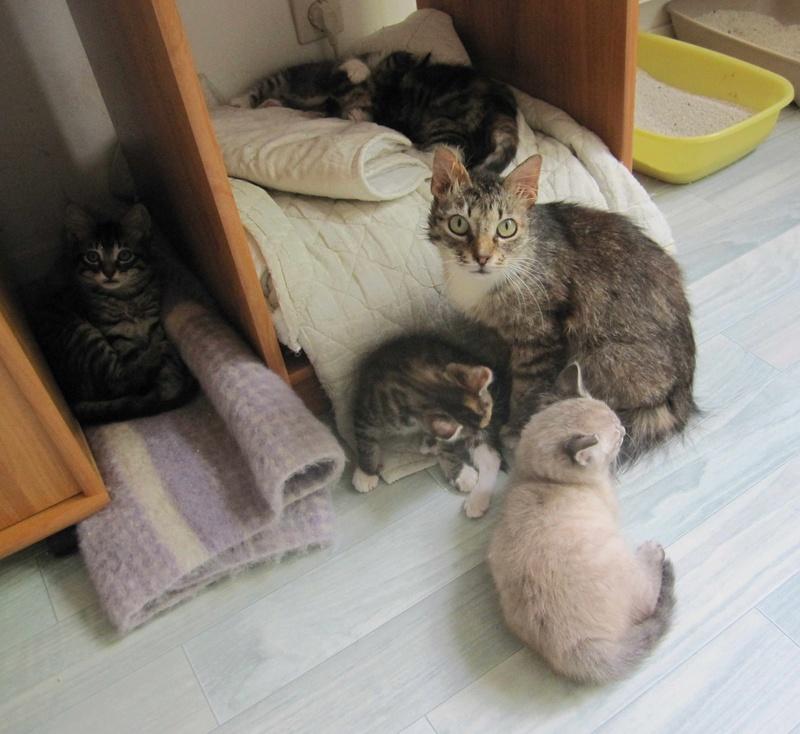 inette - INETTE, chatte européenne tigrée & blanche, poils mi-longs, née en 2013 Inette19