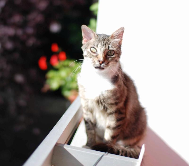 inette - INETTE, chatte européenne tigrée & blanche, poils mi-longs, née en 2013 Inette31