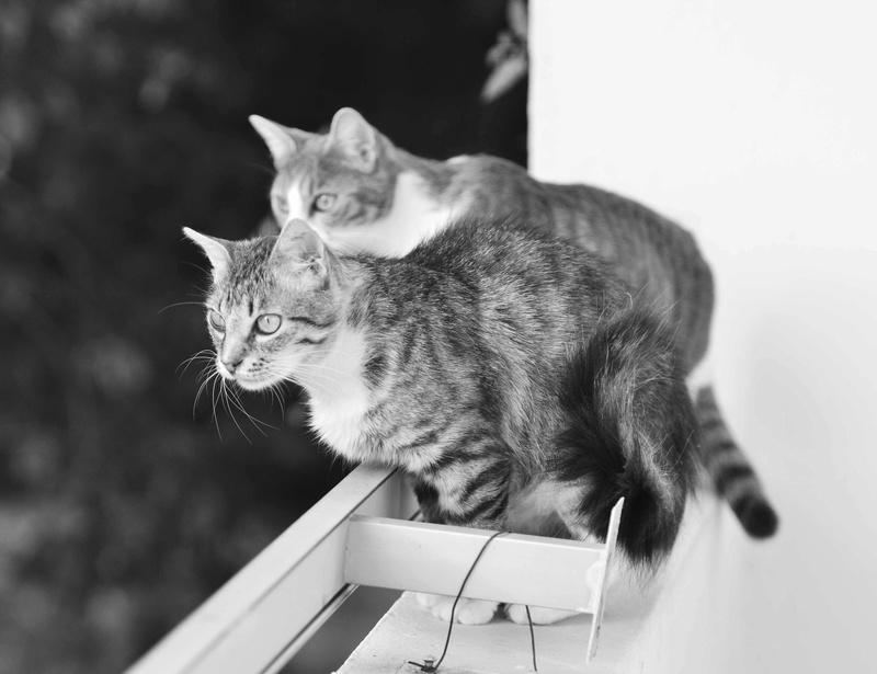 inette - INETTE, chatte européenne tigrée & blanche, poils mi-longs, née en 2013 Inette42