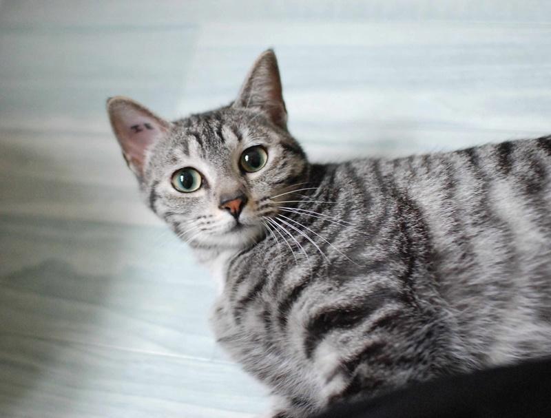 loula - LOULA, chatte européenne tigrée grise, née en Juillet 2015 Loula_12