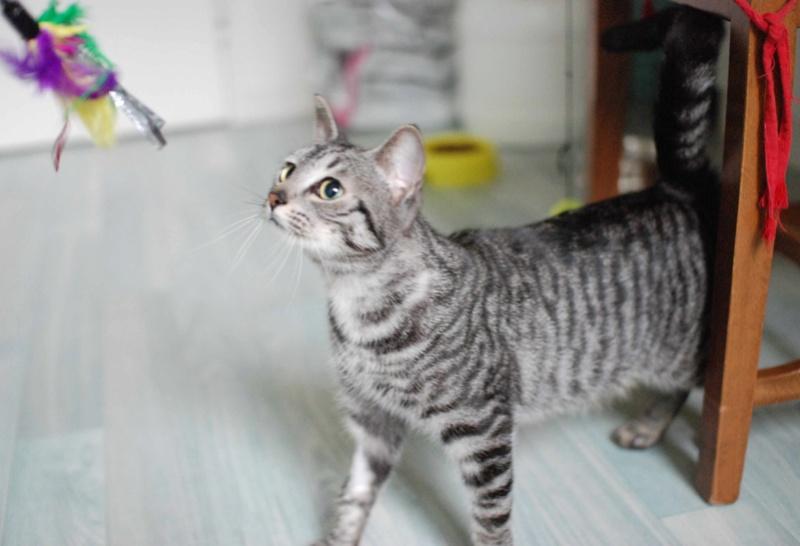 loula - LOULA, chatte européenne tigrée grise, née en Juillet 2015 Loula_13