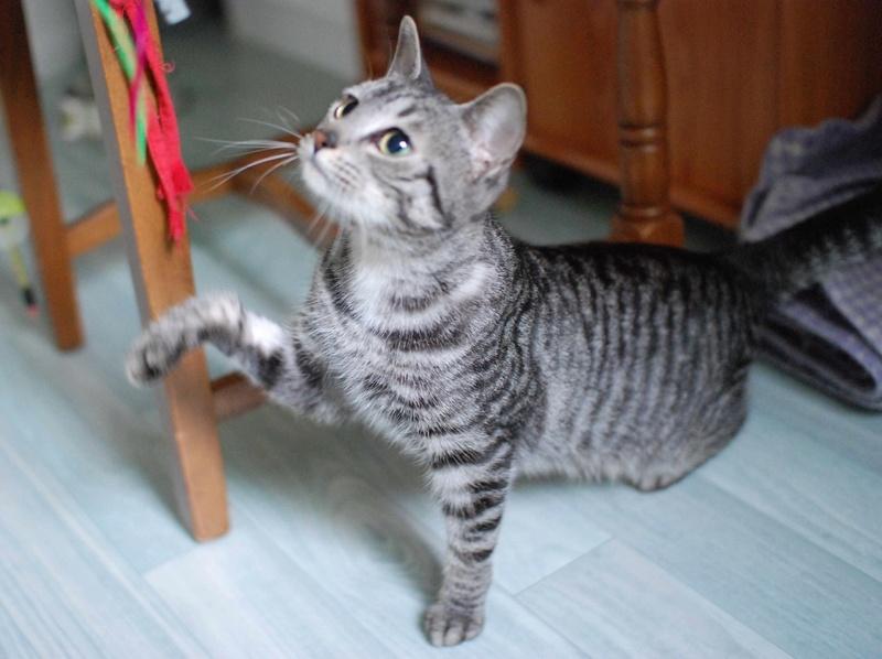 loula - LOULA, chatte européenne tigrée grise, née en Juillet 2015 Loula_14