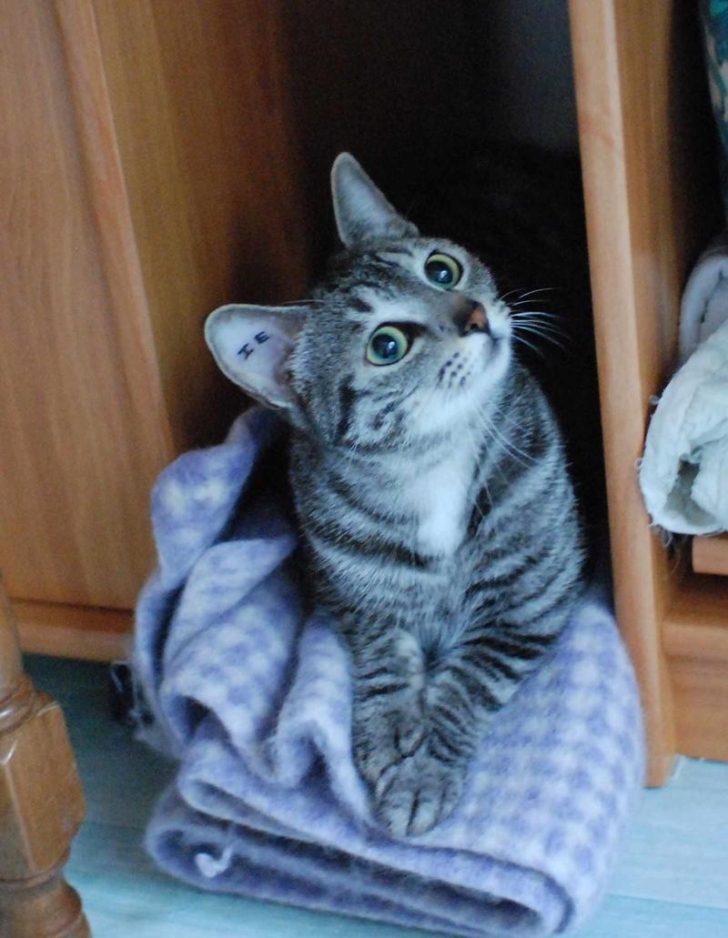 loula - LOULA, chatte européenne tigrée grise, née en Juillet 2015 Loula_15