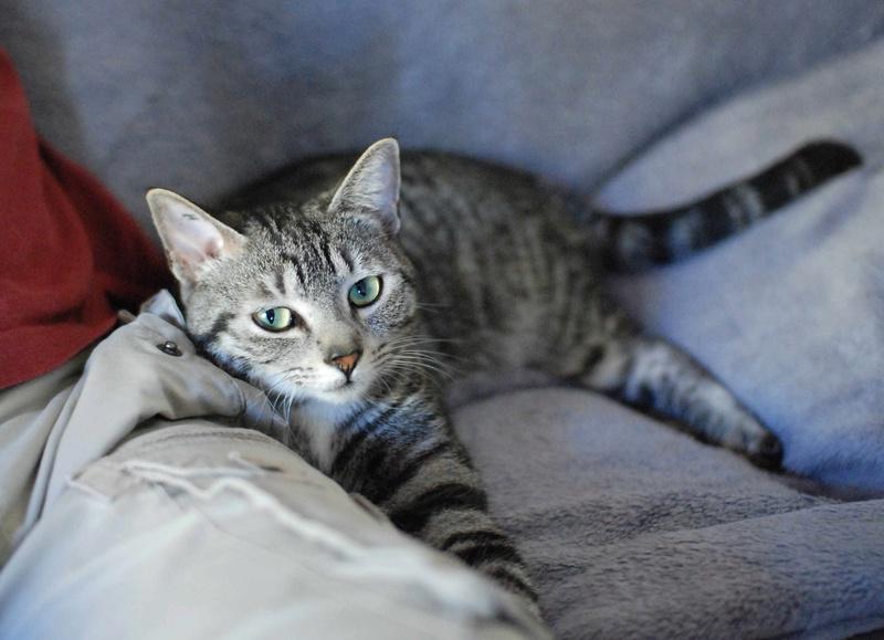 loula - LOULA, chatte européenne tigrée grise, née en Juillet 2015 Loula_19