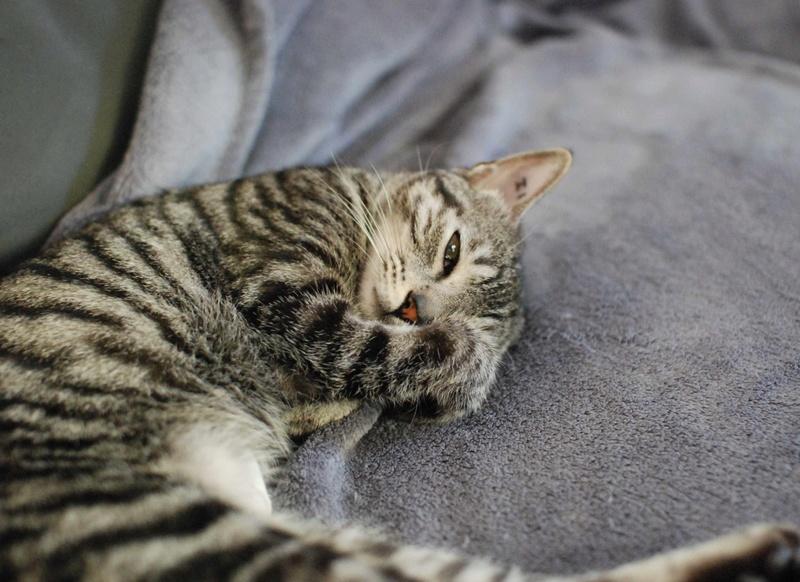 loula - LOULA, chatte européenne tigrée grise, née en Juillet 2015 Loula_21