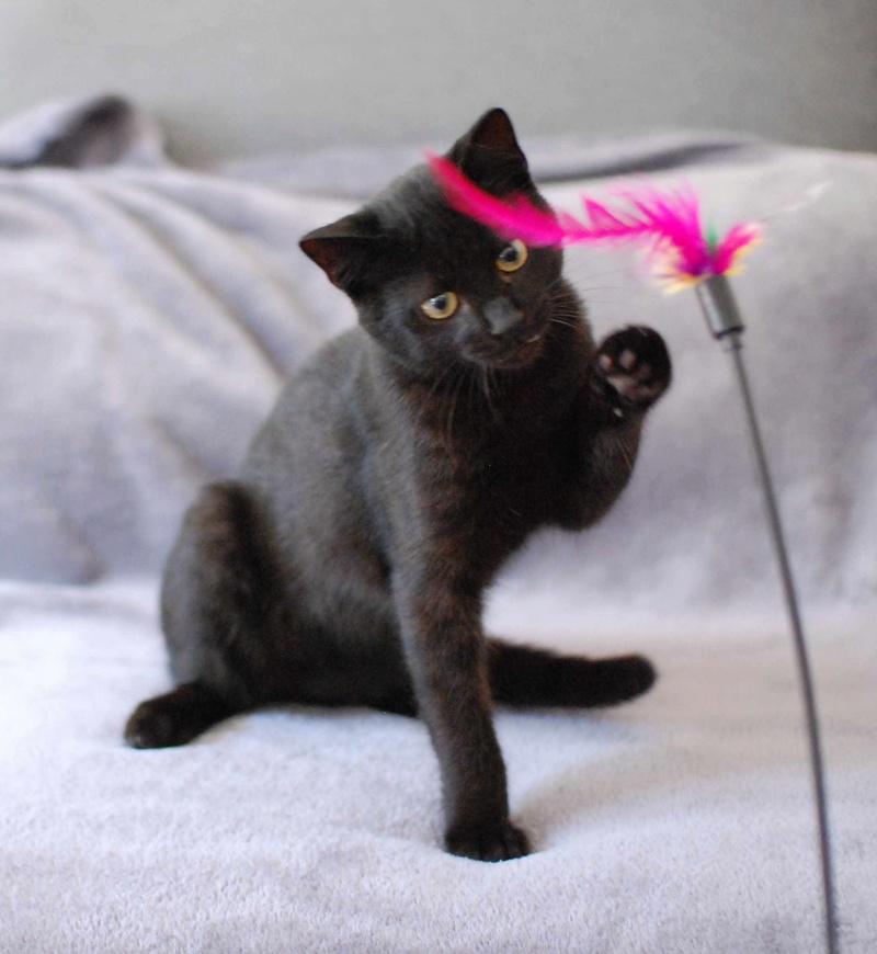 mambo - MAMBO, chaton européen noir, né mai 2016 Mambo_11